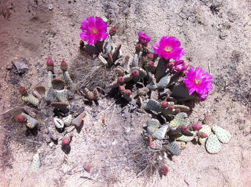 prickly pear cactus flower - opuntia basilaris